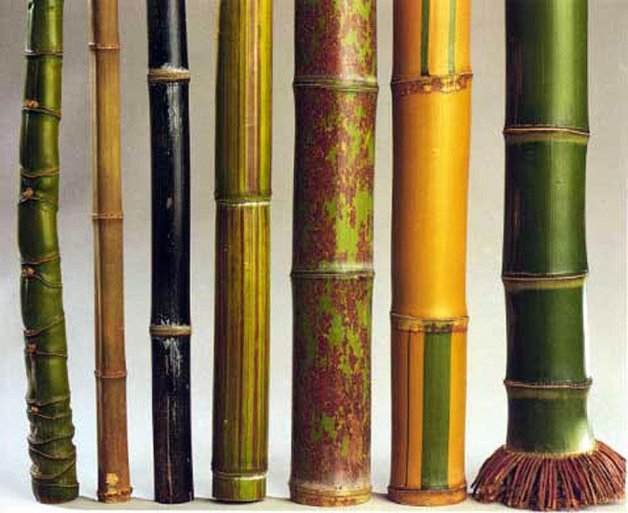 bambooculms_1